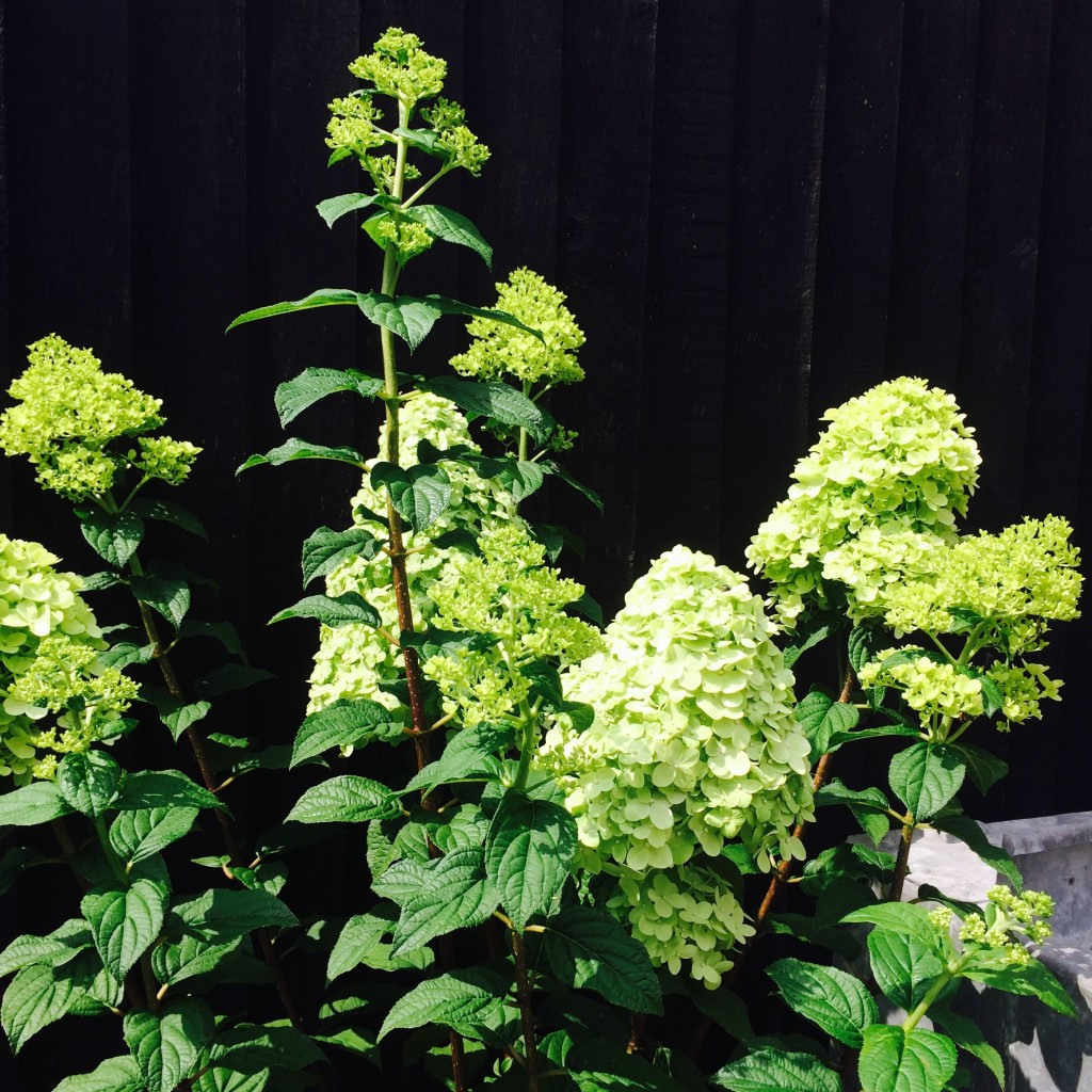 Hydrangea limelight. One of my favourites.